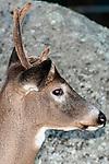 Whitetail Deer buck, medium shot side view head and antlers, vertical.