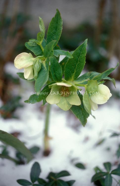 Helleborus orientalis Hellebore flowering in winter snow