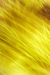 Yellow abstract of pond grass