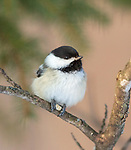 Black-capped chickadee pecking open a sunflower seed.