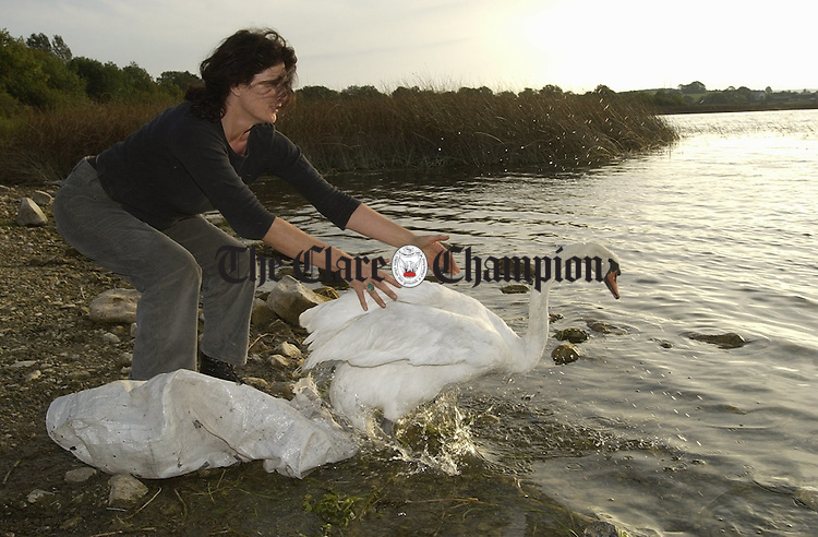 Kate Browne of Clare Animal Welfare returning a rescued swan, which had earlier collided with an ESB pylon in Ennis at the weekend, to the water at Ballyalla. The swan was in a state of shock with some injuries but recovered following a few days TLC at a local farm. One third of swans are killed or injured by pylons each year and CAW are recommending the use of Game Guards near rivers and lakes for  low flying birds. ..Clare Animal Welfare can be contacted on 087-7954351 or visit their website at caw@ennis.ie  to help re-home animals. Photograph by John Kelly.