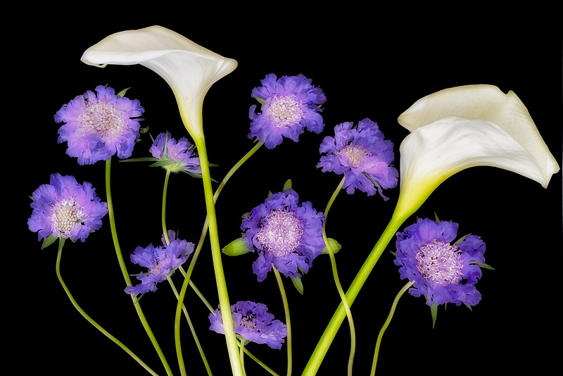 Lily and pincushion flower arrangement