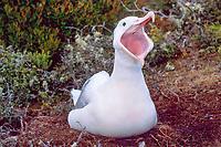 southern royal albatross, Diomedea epomophora, Campbell Island, New Zealand, Pacific Ocean