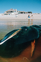 sperm whale, Physeter macrocephalus, beached due to entanglement in fishing net, Puerto Penasco, Mexico, Pacific Ocean