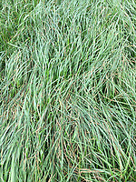 Photo: Richard Lane/Richard Lane Photography. Diseased over wintered perennial rye grass. 04/04/2017.