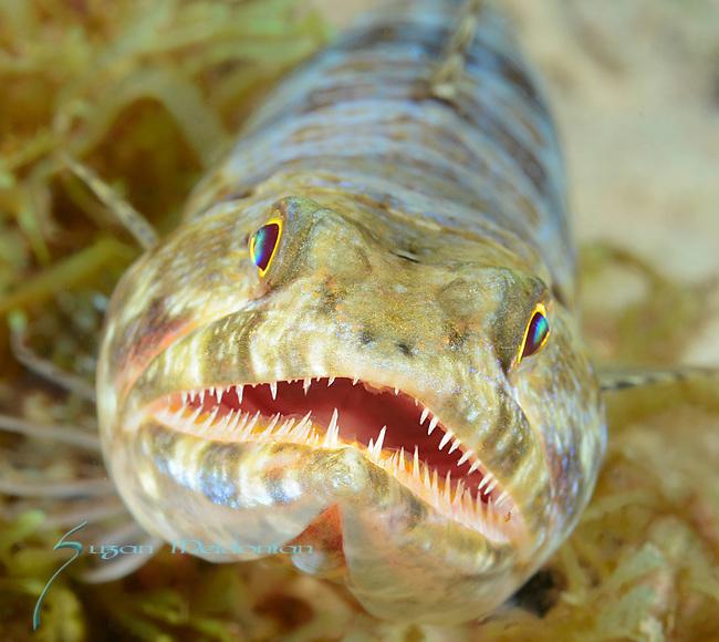 Lizardfish close up, Synodontidae, Visayas, Philippines 2017