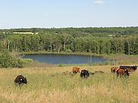 Naturschutzgebiet NSG Pantener Moorweiher, Schleswig-Holstein, Extensive Beweidung der Grünlandflächen durch Angus-Rinder, Weiher, Tümpel, Weidefläche, Weideland