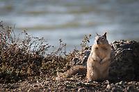 A ground squirrel poses along the shores of San Francisco Bay.