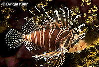TP03-026z  Dwarfed Lionfish - Zebra Lionfish - Dendrochirus zebra
