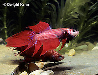 BY01-020z  Siamese Fighting Fish - male chasing and biting a rival male - Betta splendens