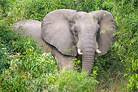 African elephant (Loxodonta africana), bull during musth or must, savannah, Murchison Falls National Park, Paraa, Uganda, Africa