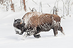 Male American Bison (Bison bison) walking through deep snow. Yellowstone National Park, Wyoming, USA. January.