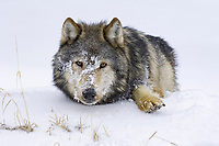 Timber Wolf (Canis lupus lycaon), adult laying down, face covered with snow, Montana, USA, America, North America