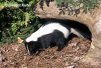 MA09-030z  Striped Skunk -digging in forest - Mephitis mephitis