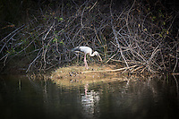 Asian Open-billed Stork in Tadoba Andhari Tiger Reserve, Maharashtra, India