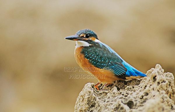 Common Kingfisher, Alcedo atthis,adult on cliff, Cyprus, Greek Island, Greece, Europe