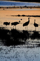 Sandhill cranes at sunset. Bosque del Apache National Wildlife Refuge in southern Socorro County, New Mexico.