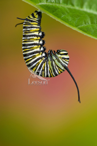 MONARCH BUTTERFLY (Danaus plexippus) 5th instar caterpillar on underside of leaf in preparation for transformation from larval to pupal stage of its life cycle. Summer, Nova Scotia, Canada. Series: 1 of 8 images.