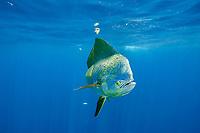 dorado, mahimahi, mahi-mahi, dolphinfish, or dolphin-fish, Coryphaena hippurus, bull (male) off Isla Mujeres, near Cancun, Yucatan Peninsula, Mexico (Caribbean Sea)