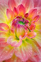 Dahlias variety Azteca. Swan Island Dahlia Farm. Oregon