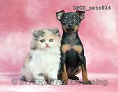 Xavier, ANIMALS, REALISTISCHE TIERE, ANIMALES REALISTICOS, cats, photos+++++,SPCHCATS814,#A#