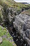 Kittiwakes (Rissa tridactyla) flying and Razorbills (Alca torda) nesting on sea cliff ledge. Isle of Lunga, Treshnish Isles, Mull, Scotland, June.