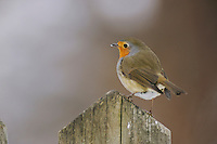 European Robin (Erithacus rubecula), adult perched on wooden fence, Zug, Switzerland, December 2007