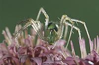 Green Lynx Spider, Peucetia viridans, adult on Rose Palafoxia (Palafoxia rosea) , Lake Corpus Christi, Texas, USA, June 2003