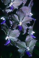 Vanda Mem. Lyle Swanson 'Justin Grinnell', AM/AOS, awarded orchid hybrid cultivar between Vanda Kasem Delight x Vanda tessellata, unusual brown gray orchid with blue purple lip, against black background