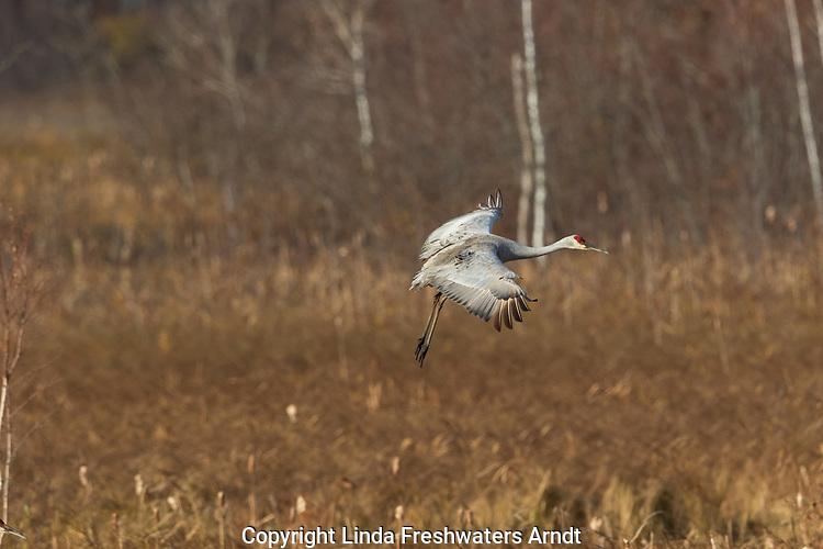 Sandhill crane landing in Crex Meadows Wildlife Area.
