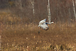 Sandhill crane landing in Crex Meadows Wildlife Area.
