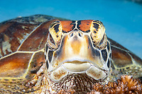 green sea turtle, Chelonia mydas, Philippines, Pacific Ocean