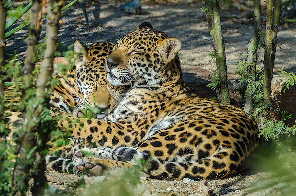 Two Jaguars (Panthera onca) resting together.