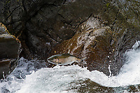 Coho Salmon jumping small falls on Sol Duc River.<br />