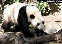 0502-1006  Male Giant Panda at San Diego Zoo, Ailuropoda melanoleuca  © David Kuhn/Dwight Kuhn Photography.