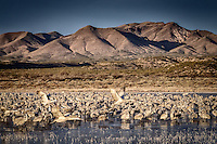 Hundreds of sandhill cranes at sunrise at the Chupadera Crane Pond at Bosque del Apache National Wildlife Refuge