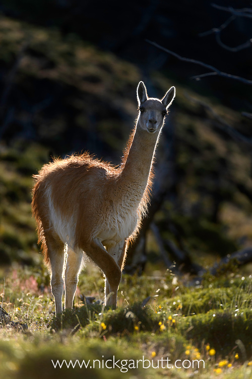 Adult guanaco (Lama guanicoe), backlit. Torres del Paine National Park, Patagonia, Chile.