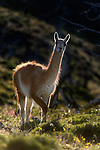 Adult guanaco (Lama guanicoe), backlit. Torres del Paine National Park, Patagonia, Chile.