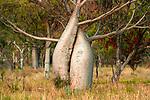 Boabs (Adansonia gregorii), Kimberley region, Western Australia, Australia<br /> Canon EOS-1Ds Mark II, EF500mm lens, ƒ /9 for 20 seconds, ISO 400