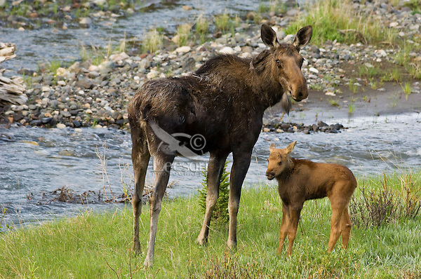Cow Moose (Alces alces) with young calf along mountain stream.  Rocky Mountains.  June.