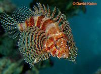 "0107-08nn  Fuzzy Dwarf Lionfish  ""Venomous Spines on Fish"" - Dendrochirus brachypterus  © David Kuhn/Dwight Kuhn Photography"