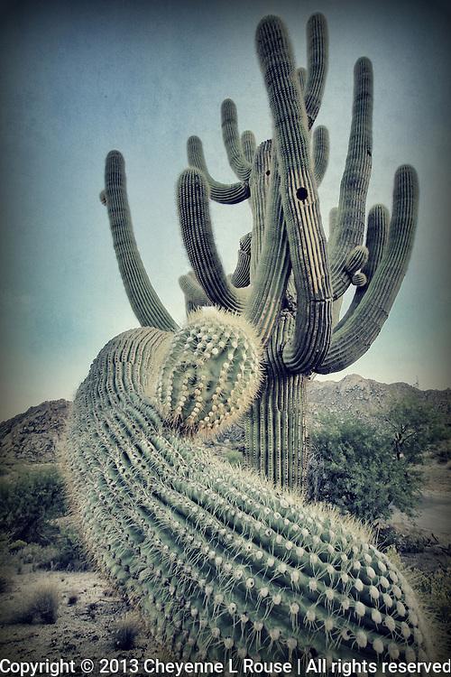 Crazy Cactus - Arizona - Saguaro