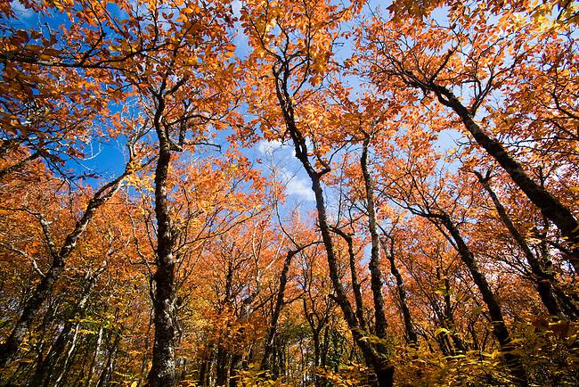 Autumn beech forest, Graggy Gardens