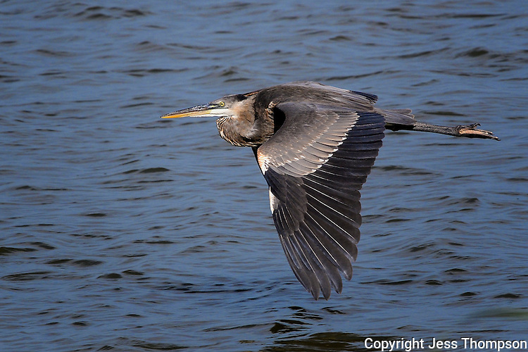 Great Blue Heron, San Angelo, Texas