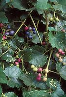 Ampelopsis brevipedunculata Elegans, Porcelain Berry Vine with changing colored berries, garden climbing vine