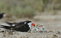 Black Skimmer (Rynchops niger), adult with young at nest fighting, Port Isabel, Laguna Madre, South Padre Island, Texas, USA