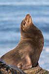 La Jolla, California; a bull male California sea lion resting on the rocky shoreline along the Pacific Ocean, in early morning sunlight