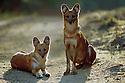 Dhole / Indian wild dog {Cuon alpinus} Kanha NP, India