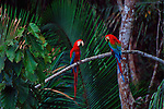 In the heart of Manu National Park in Peru, a pair of macaws perch together.
