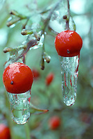 V00075.tif   Berries and ice on Heavenly Bamboo plant. Near Alpine, Oregon